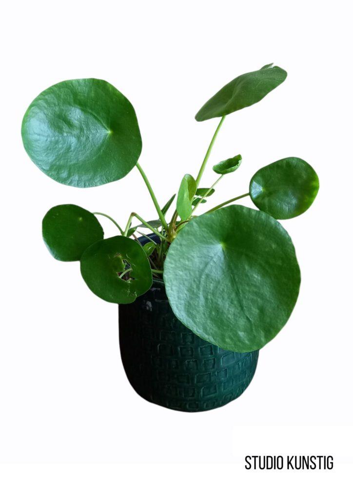 foto van pannenkoekenplant